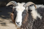 Cameroon goat — Stock Photo