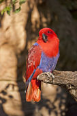 View of a colorful parrot eclectic — Stock Photo