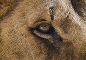 Lion eye — Stock Photo