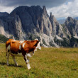 Brown cow looking mountains with alps background — Stock Photo #6476157