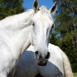 Wonderful white male horse looking at camera — Stock Photo