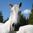 Wonderful white male horse looking at camera — Stock Photo #6476169