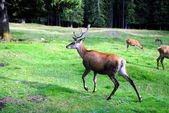 Male deer runs in mountain landscape — Stock Photo