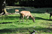 Male deer pastures in mountain landscape — Stock Photo