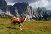 Brown cow looking mountains with alps background — Stock Photo