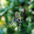 图库照片: Argiope bruennichi, arachnid also called tiger spider