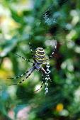аргиопа брюнниха, паукообразный также называется тигр паук — Стоковое фото