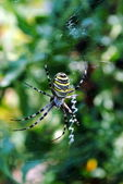 Argiope bruennichi, arachnid also called tiger spider — Stok fotoğraf