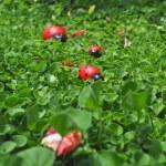 Family of ladybugs — Stock Photo
