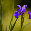 A magnificent big purple iris flower — Stock Photo