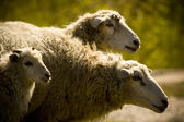 Three sheep on the green plant background — Stock Photo