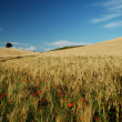Wheat Field and poppies — Stock Photo