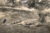 Vintage cheetah photography — Stock Photo