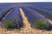 Lavender in Valensole, Provence — Stock Photo