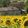Royalty-Free Stock Photo: Marches (Italy) - Landscape at summer with sunflowers, farm