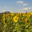 Marches (Italy) - Field of sunflowers near Jesi (Ancona) — Stockfoto