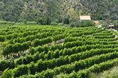 Vineyard along the Passo del Bracco — Stock Photo