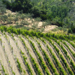 Stock Photo: Vineyard along Passo del Bracco