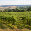 Stock Photo: Landscape with vineyards at summer between Umbriand Tuscany