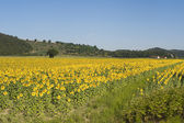 Landscape with sunflowers in Tuscany (Siena) — Stockfoto