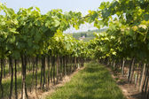 Lessinia (Verona, Veneto, italy), vineyards near Soave at summer — Stock Photo