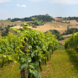 Marches (Italy) - Landscape at summer: vineyards — Stock Photo #6687426
