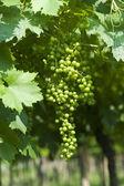 Lessinia (Verona, Veneto, italy), vineyards at summer, green gr — Stock Photo