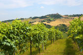 Marches (Italy) - Landscape at summer: vineyards — Stock Photo