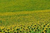 Marches (Italy) - Field of sunflowers near Jesi (Ancona) — Stock Photo