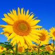 Sonnenblume — Stock Photo #6190369