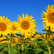 Sonnenblume — Stock Photo
