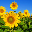 Sonnenblume - Stock Photo
