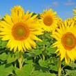 Sonnenblume — Stock Photo #6207363