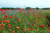Blumenwiese — Stock Photo