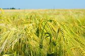 Getreide — Стоковое фото