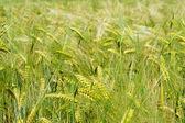 Getreide — Stock Photo