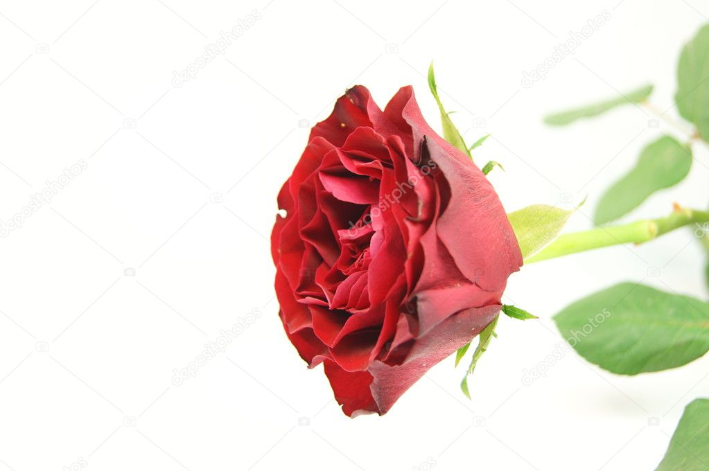 Einzelne rote Rose — Stock Photo #6240835