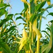 Corn field — Stock Photo #6527923