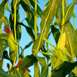 Corn field — Stock Photo #6528180