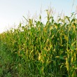 Corn field — Stock Photo #6528290