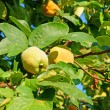Quince — Stock Photo