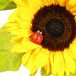 Sunflower — Foto de stock #6602208
