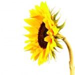 Sunflower — Stock Photo #6602305
