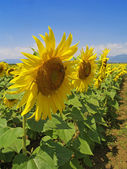 Sunflowers whit blue sky — Stock Photo