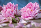 Damascena rose — Stock Photo