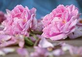 Damascena rose — Stock Photo