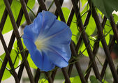 Ipomoea tricolor fwoler — Stock Photo