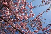 Sakura in the sky — Stock Photo