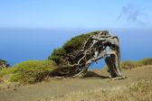 Juniperus phoenicea — Stock Photo