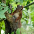 Sciurus vulgaris — Stock Photo